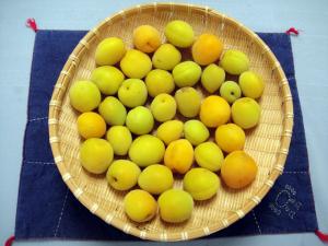 黄色い梅の収穫