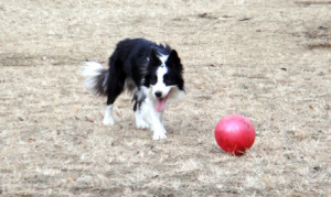犬 バレーボール