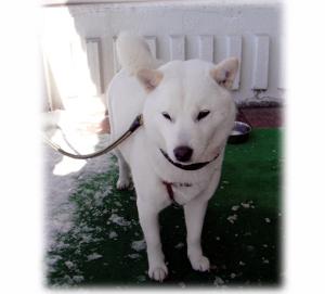 北海道犬の嵐ちゃん